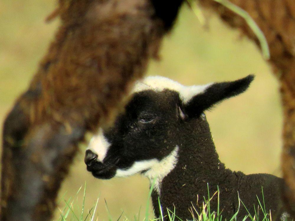 agneau-nistos