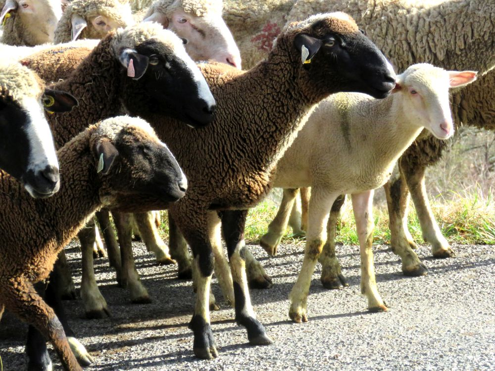 troupeau-mouton-nistos